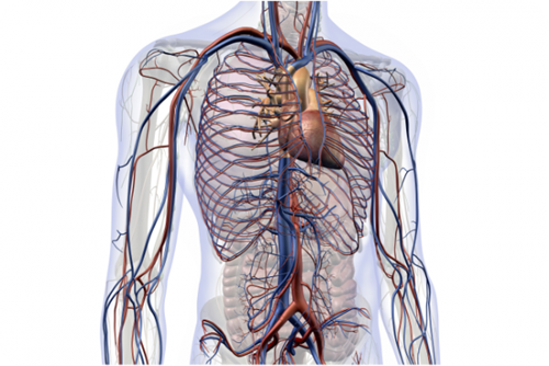 transparent body showing the heart, veins and blood vessels